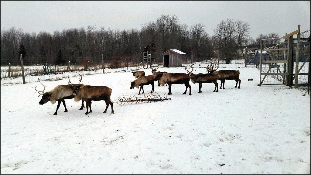 Reindeer Displays